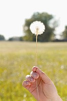 Person´s hand holding a dandelion
