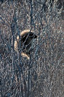 porcupine, along Alaska highway, Alaska, North America, animal, plants