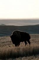 plains bison, west block, Grasslands National Park, Southern Saskatchewan, Canada, North America, animal, bison, one, twilight