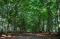 Avenue of woodland trees. This is a pathway through Bacton Wood, Norfolk, UK. This area of woodland dates to Saxon times. Originally it consisted of o...