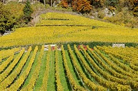 Vine yard, near Flasch, forest, fall, fall colours, Bundner Herrschaft region, Grisons, Switzerland