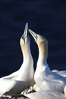 Northern Gannets, Morus bassanus, displaying pair, Heligoland, Germany