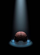Brain research. Conceptual artwork of a human brain under a spotlight in a petri dish. This image could represent research being focused on understand...