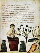 Herbal medicine. 10th_century manuscript page showing Greek text over an artwork of a healer preparing a herbal remedy. The healer is grinding plants ...