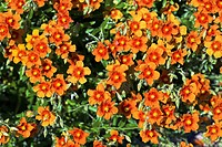 Helianthemum ´Coppernob´ flowering in Summer.