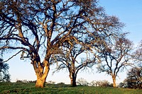 Sunrise light on oak trees, in the foothills near Plymouth, Amador County, California