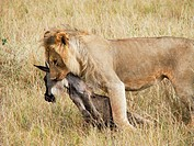 Lion Panthera leo, lioness with prey, Blue Wildebeest Connochaetes taurinus, Masai Mara National Reserve, Kenya, East Africa