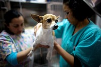 Veterinarians attend a Chihuahua dog at a Pet Hospital in Condesa, Mexico City, Mexico, February 8, 2011