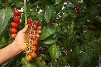 Ciliegino tomatoes harvest