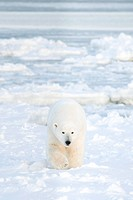 Polar Bear walking on sea ice.