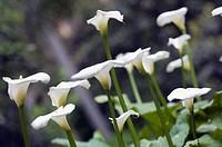 White Calla Lilies Reaching Out