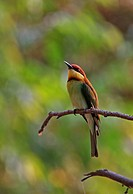Chestnut_headed Bee_eater Merops leschenaulti adult, perched on twig, Kaeng Krachan N P , Thailand, february