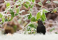 European Blackbird Turdus merula adult male, standing on frost covered garden lawn at dawn, Kent, England, december