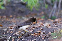 Brown Jay Psilorhinus morio adult, collecting nesting material on lowland forest floor, Tikal N P , Peten, Guatemala