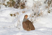 Grey Partridge Perdix perdix adult, standing in snow, Leicestershire, England, january
