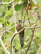 Rusty_breasted Cuckoo Cacomantis sepulcralis adult, perched on branch, Alcoy Forest, Cebu Island, Philippines