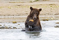 Grizzly Bear Ursus arctos horribilis adult, playing with rock in water, Katmai N P , Alaska, U S A , august