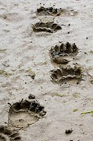 Grizzly Bear Ursus arctos horribilis footprints in mud, Katmai N P , Alaska, U S A , august