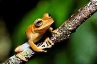 Tree Frog - La Selva Jungle Lodge, Amazon Region, Ecuador