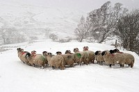 Domestic Sheep, Swaledale flock, standing in snowstorm on snow covered pasture, Cumbria, England, november