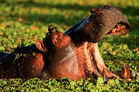 In daytime hippos can be found resting in water or river banks  At night they leave the river banks to feed on grass