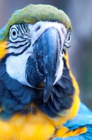 Blue and yellow macaw head shot  All parrots have binocular vision allowing them a greater angle of view than most birds  Parrots can also see in the ...