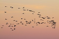 Europe, France, Flock of flamingoes flying in the sky