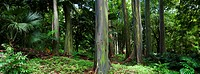 Hawaii, Maui, Rainbow Eucalyptus Eucalyptus deglupta along Road to Hana.