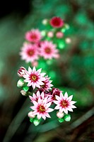 flowers Joubard or Jupiter&39, s beard, Sempervivum tectorum = Botany is a succulent family Crassulaceae