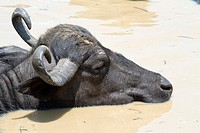 portrait of a bathing Water Buffalo Bubalus arnee, Pantanal, Brazil