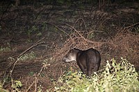 South American Tapir Tapirus terrestris standing in vegetation at night, Pantanal, Brazil