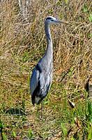 Great Blue Heron Anhinga Trail Everglades National Park FL US Wildlife Eco System Nature