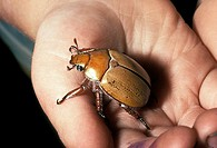 Close up of child's hand holding a Christmas Beetle genus Anogplognathus