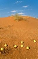 Tsamma Citrullus lanatus - Source of food and water for all kinds of animals  On a grass-grown dune  Kalahari Desert, Kgalagadi Transfrontier Park, So...