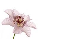 Blüte Clematis