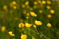 Gelbe Wiesenblumen im Wind