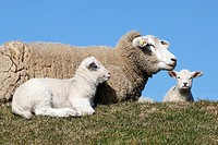 Sheep with Lamb  Domestic Sheeps , Ovis aries, Schleswig-Holstein  Germany