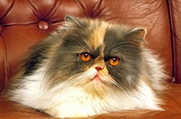 Tricolor Persian Domestic Cat, Adult