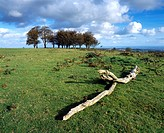 Beech trees known as the Seven Sisters on Cothelstone Hill at Cothelstone in the Quantock Hills, Somerset, England, United Kingdom