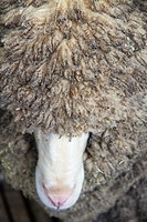 Head of Merino ram