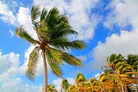 Coconut palm trees tropical typical background blue sky