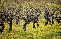 In early spring the vineyards in the South of France begin to blossom