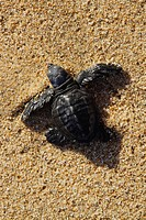 Kemp´s Ridley sea turtle crawling in sand