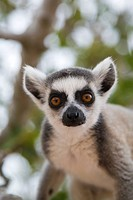 Ring_tailed Lemur