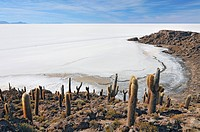 Bolivia, Incahuasi Island in the Center of the Salar de Uyuni, Cactus