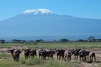 Cape buffalo, Amboseli National Park, with Mount Kilimanjaro in the background, Kenya, East Africa, Africa