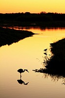 Silouette of wading birds on the Myakka River, Florida, USA at sunset