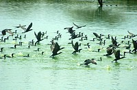 LESSER CORMORANTS IN KOONTHAKULAM BIRD SANCTUARY, TAMILNADU, INDIA