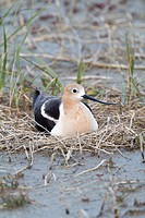 American Avocet Recurvirostra americana adult at its nest at the edge of Reed Lake in Morse, Saskatchewan, Canada