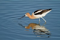 American Avocet Recurvirostra americana reflected in Reed Lake, Morse, Saskatchewan, Canada
